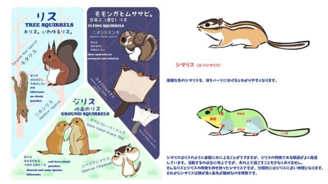 リスの描き方や種類をイラストでご紹介!シマリスやジリスの体型も解説!